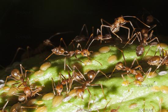 Ameisen, Papua Neuguinea
