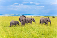 Elephants of the African savannah