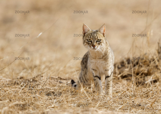 Desert Cat, Jaisalmer, Rajasthan, India