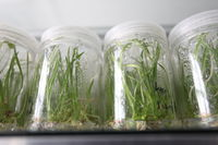 Seedlings, growth, utensils, laboratory, in a row
