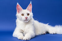 Portrait of white color American Coon Cat lies on blue background