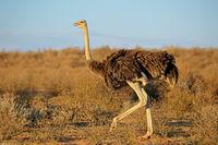 Female Ostrich (Struthio camelus) in natural habitat