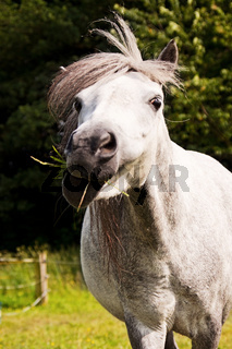 Lustiges Welshpony