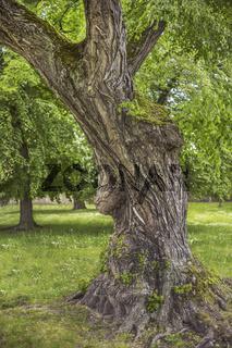 Der alte Baum im Schlosspark von Merseburg