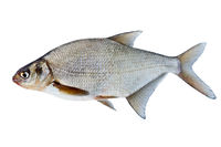 Fish bream in white