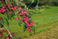 Gewöhnliche Spindelstrauch, Euonymus europaeus, spindle tree