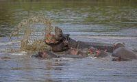 Hippopotamus Mother and baby, Hippopotamus amphibius,  Maasai Mara, Africa