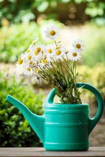 daisy flower in garden watering can