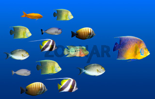 Leadership concept - big fish leading school of tropical fishes isolated on white