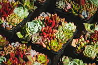 mini succulent plants - small succulent pot plant -
