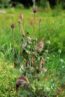 210724-12 Schlafmohn, Breadseed poppy, Papaver somniferum.jpg