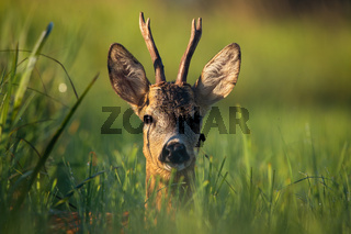 Young roe deer buck lying on a meadow and looking to the camera