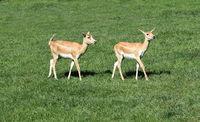 Hirschziegenantilope, Mammalia Ruminantia