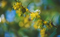 Yellow blooming branch of a bush with sparkeling bokeh during springtime