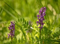 Early Purple Orchid - Orchis mascula in natural habitat