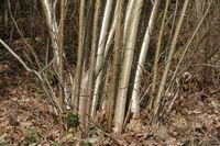 Corylus avellana, Haselnuss, hazel, Holz, wood