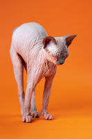 Young female Canadian Sphynx Cat four months old stands on outstretched paws on orange background