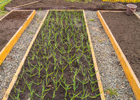 Cultivation of garlic and onions, wooden beds for growing vegetables in accordance with the principles of organic farming. Garden paths sprinkled with pebbles