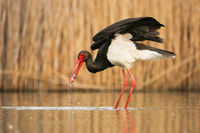 Black stork hunting in water in springtime nature.
