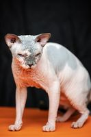Canadian Sphynx cat. Full length portrait of hairless male cat on black and orange background