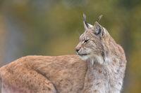 The Eurasian lynx - Lynx lynx - adult animal, autum colored vegetation