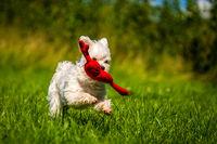 Small mini maltese dog on the meadow