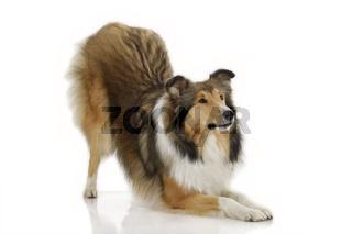 American Collie Hund auf weiß