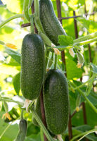 The growth and blooming of greenhouse cucumbers.