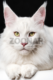 Close-up portrait of white color Maine Coon Cat on black and white background