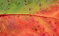 Autumn leave texture