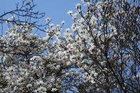 Magnolia salicifolia, Weidenblaettrige Magnolie, willowleaved magnolia