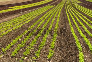 Salatfeld auf der Insel Reichenau, Bodensee, Baden-Württemberg, Deutschland
