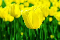 big yellow tulip on a background of flower bed