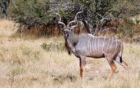 Kudu im Etosha Nationalpark, Namibia | Greater Kudu in Namibia, Etosha NP, Tragelaphus strepsiceros