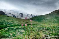 Flowers of Serpent grass