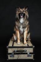Wolfspitz sitting on suitcase