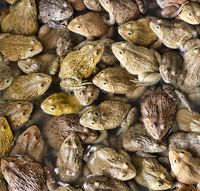 Chinese Bullfrog in market