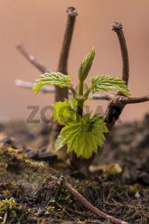 kleine Hopfenpflanze im Frühjahr