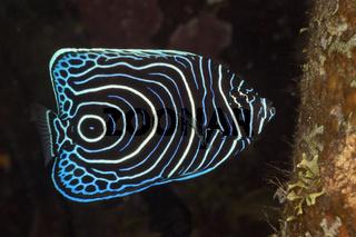 Juveniler Imperator Kaiserfisch