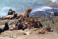 Sea Lions at Cape Arago Cliffs State Park, Coos Bay, Oregon,USA