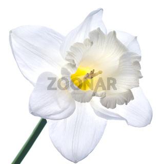 white narcissus isolated on white background