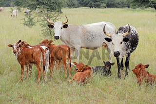 Free-range cattle with calves in grassland on a rural farm