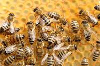 Bienen beim Einbringen des Nektars