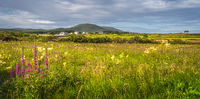 Meadow with wildflowers and small village in Ring of Kerry