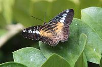 Segler aus Asien: Parthenos sylvia