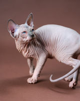 Portrait of Canadian Sphynx Cat of blue mink and white color with blue eyes on brown background