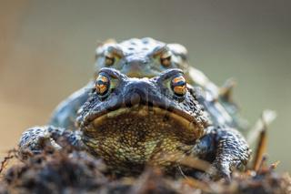 Erdkröten