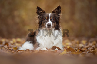 Pretty American shepherd dog lying down in a autumn forest, beween autumn leafs