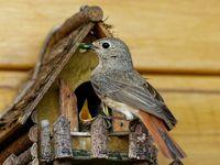 Gartenrotschwanz füttert Nestlinge