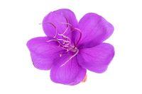 Tibouchina purple flower isolated in white background. Tibouchina urvilleana